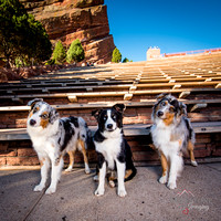 Dog Models / The Aussies