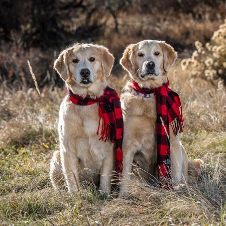Holiday Golden Retrievers / Milestone Imaging
